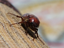 Portraits-of-my-Land-Brown-Bug-Macro