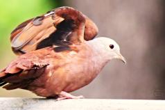 Portraits-of-my-land-Pigeons4
