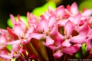 Portraits-of-my-Land-Pink-Beauties-4