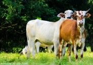 Portraits-of-my-Land-Curious-Cattle-3