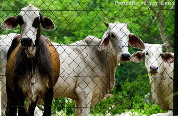 Portraits-of-my-Land-Curious-Cattle