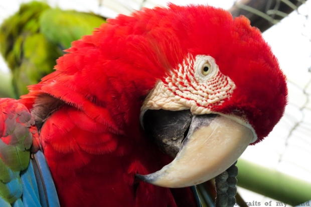 Portraits-of-my-Life-Red-Macaw-10
