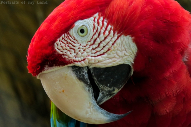 Portraits-of-my-Life-Red-Macaw-11