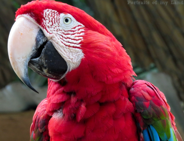 Portraits-of-my-Life-Red-Macaw-12