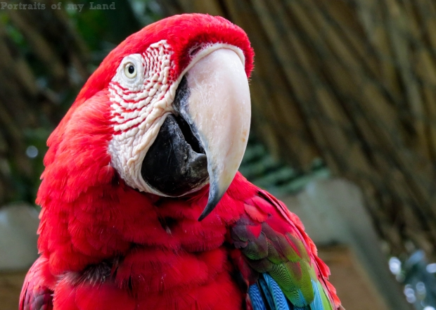 Portraits-of-my-Life-Red-Macaw-13