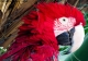 Portraits-of-my-Life-Red-Macaw-2