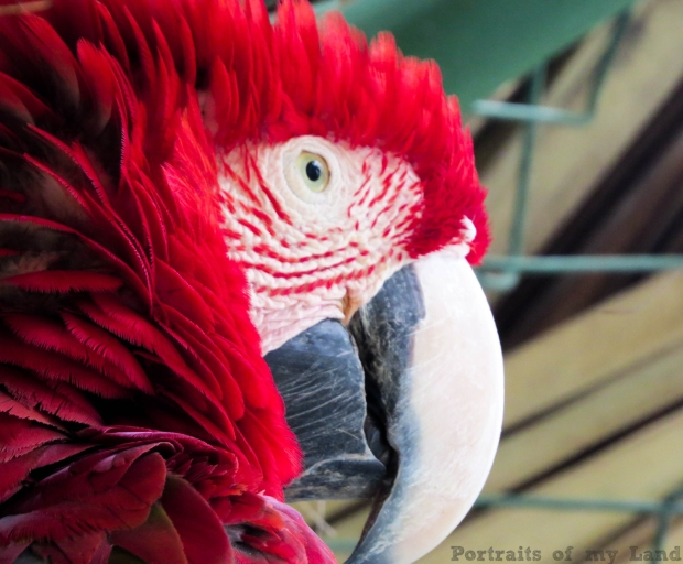 Portraits-of-my-Life-Red-Macaw-4