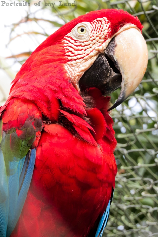 Portraits-of-my-Life-Red-Macaw-5