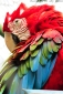 Portraits-of-my-Life-Red-Macaw-6