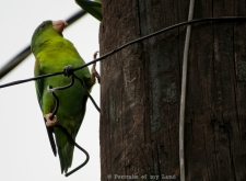 Portraits-of-my-Land-parakeets-3