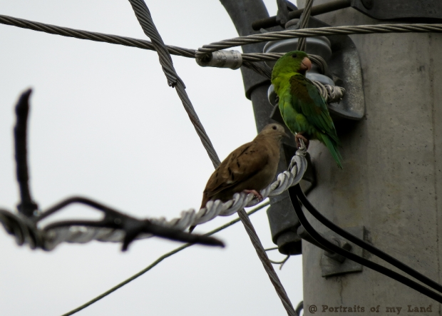 Parakeets between wires