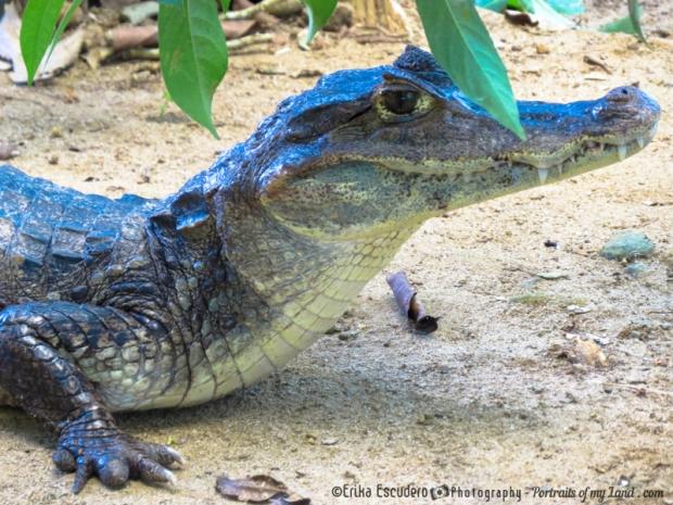 Alligator-Portraits-of-my-Land.com