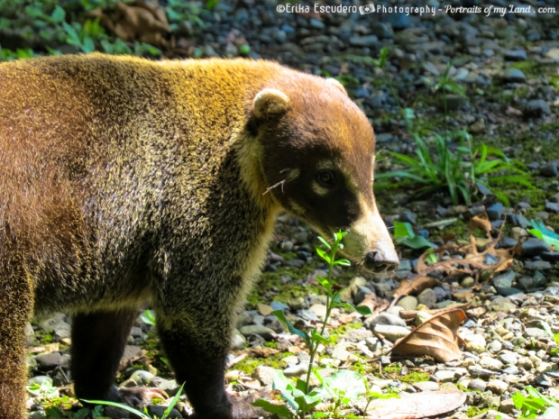 Coati-Mundi-Portraits-of-my-Land.com