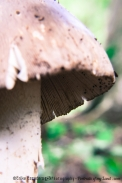 Wild-Mushroom-Portraits-of-my-Land.com